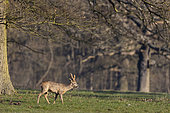 Roe deer (Capreolus capreolus) walking in a meadow at sunrise, England