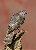 Sparrowhawk (Accipiter nisus) perched on a log, England