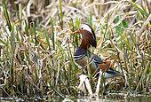 Mandarin duck (Aix galericulata) amongst reeds, England