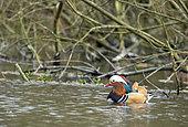 Mandarin duck (Aix galericulata) swiming, England