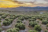 Cultivated olive trees (Olea europaea) at dawn. Aerial view. Drone shot. Córdoba province, Andalusia, Spain.