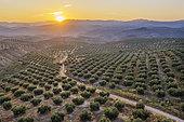Cultivated olive trees (Olea europaea) at sunrise. Aerial view. Drone shot. Córdoba province, Andalusia, Spain.