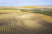 The Campiña Cordobesa, the fertile rural area south of the town of Córdoba with cultivations of olive trees (Olea europaea), sunflowers (Helianthus annuus) and cornfields. Aerial view. Drone shot. Córdoba province, Andalusia, Spain.