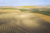 La Campiña Cordobesa, la zone rurale fertile au sud de la ville de Cordoue avec des cultures d'oliviers (Olea europaea), de tournesols (Helianthus annuus) et de champs de maïs. Vue aérienne. Vue par drone. Province de Cordoue, Andalousie, Espagne.