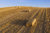 Bales of straw in cornfield after wheat harvest. In the Campiña Cordobesa, the fertile rural area south of the town of Córdoba. Aerial view. Drone shot. Córdoba province, Andalusia, Spain.
