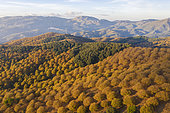 Sweet chestnut trees (Castanea sativa) in autumnal colours in November. Aerial view. Drone shot. Serranía de Ronda, Málaga province, Andalusia, Spain.