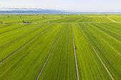Rice fields (Oryza sativa) in July. Aerial view. Drone shot. Ebro Delta Nature Reserve, Tarragona province, Catalonia, Spain.
