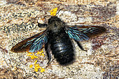 Carpenter Bee (Xylocopa violacea) on a log cut at the end of winter, Campagne, Lorraine, France