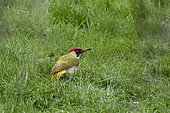 Green Woodpecker (Picus viridis) male on the ground foraging for food in a lawn in late winter, Country Garden, Lorraine, France