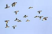 Canard siffleur (Mareca penelope) groupe en vol sur fond de ciel bleu en fin d'hiver, au dessus du lac de Madine, Lorraine, France