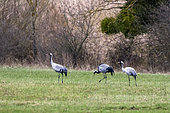 Common Crane (Grus grus) 3 adults grazing in a meadow in late winter Lorraine countryside around Toul, Lorraine, France