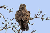 Common buzzard (Buteo buteo) on a small tree on the edge of a meadow in late winter, Lorraine countryside around Lake Madine, France