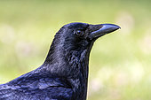 Carrion Crow (Corvus corone) portrait of an adult on the ground in a lawn in late winter, Country Garden, Lorraine, France