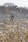 Magpie (Pica pica) 2 adults on the top of a weeping willow tree in winter under the snow, Country garden, Lorraine, France