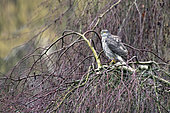Eurasian sparrowhawk (Accipiter nisus) female resting on a weeping birch in late winter, Country garden, Lorraine, France