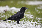 Carrion Crow (Corvus corone) on the snowy ground of a lawn in late winter, Country Garden, Lorraine, France