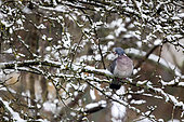 Wood pigeon (Columba palumbus) Adult at rest on a branch in a snowy apple tree in winter, Country garden, Lorraine, France