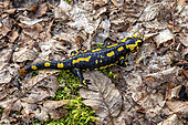 Speckled salamander (Salamandra salamandra) Adult moving in forest environment in late winter Boucq forest near Toul, Lorraine, France