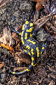 Speckled salamander (Salamandra salamandra), Adult sheltered from the cold under a large branch of dead wood in late winter, Forêt de Boucq near Toul, Lorraine, France