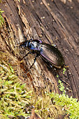 Violet Ground Beetle (Carabus violaceus) at rest on a dead wood stump in a forest environment at the end of winter, Forêt de Boucq near Toul, Lorraine, France