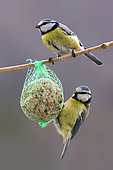 Blue Tit (Cyanistes caeruleus) 2 adults feeding on a ball of fat hanging in a shrub in winter, Country Garden, Lorraine, France