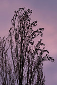 Starling (Sturnus vulgaris), Group posed on poplars of Italy on a background of sky colored by the setting sun in late winter, Countryside, Lorraine, France