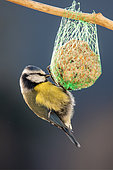 Blue Tit (Cyanistes caeruleus) adult feeding on a ball of fat hanging in a shrub in winter, Country Garden, Lorraine, France