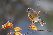 European greenfinch (Carduelis chloris) on a beech branch in winter, Countryside, Lorraine, France