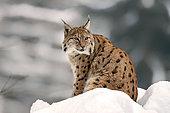 Eurasian Lynx (Lynx lynx) Adult sitting resting in snow in forest, Falkenstein Reserve, Germany