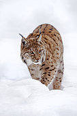 Eurasian lynx (Lynx lynx) Adult walking through snow in forest, Falkenstein Reserve, Germany