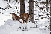 Eurasian lynx (Lynx lynx) Adult and young in snow in forest, Falkenstein Reserve, Germany