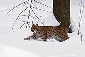 Eurasian Lynx (Lynx lynx) Adult walking in the snow in the forest, Falkenstein Reserve, Germany