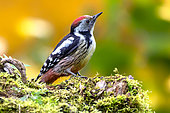 Middle spotted woodpecker (Dendrocopos medius) on a mossy deadwood stump in autumn, Campagne, Lorraine, France