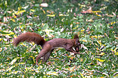 Red squirrel (Sciurus vulgaris) picking up a nut in a garden in autumn, Country garden, Lorraine, France