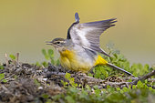Grey Wagtail (Motacilla cinerea), side view of an adult in winter plumage stretching its wings, Campania, Italy