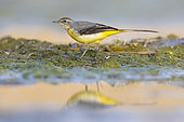Grey Wagtail (Motacilla cinerea), side view of an adult in winter plumage standing on the ground, Campania, Italy