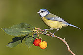 Eurasian Blue Tit (Cyanistes caeruleus), side view of an adult perched on Strawberry tree, Campania, Italy