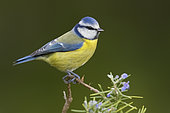Eurasian Blue Tit (Cyanistes caeruleus), side view of an adult perched on a Rosemary branch, Campania, Italy