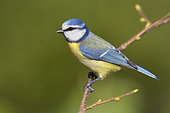 Eurasian Blue Tit (Cyanistes caeruleus), side view of an adult perched on a Common Hazel tree branch, Campania, Italy