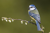 Eurasian Blue Tit (Cyanistes caeruleus), side view of an adult perched on a branch, Campania, Italy