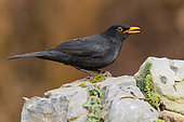 Common Blackbird (Turdus merula), side view of an adult male perched on a rock, Campania, Italy