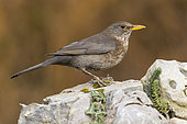 Common Blackbird (Turdus merula), side view of an adult female perched on a rock, Campania, Italy