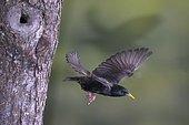 Starling (Sturnus vulgaris) flying out of breeding cavity, North Rhine-Westphalia, Germany, Europe