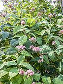 Hydrangea aspera ssp strigosa