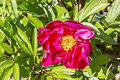 Paeonia lactiflora 'John Howard Wigell' Breeder : Wigell 1942