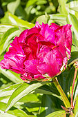 Paeonia lactiflora 'Mr Adam Mozelevsky' Breeder : Doriat 1935