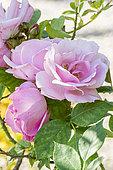 Rosa damascena 'Rose de Puteaux' 1665