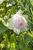 Rosa 'Aspirin Rose' Obtenteur : Tantau (ALL) 1997