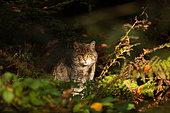 Wild cat (Felis silvestris) in a forest, Bayerisher Wald, Bavaria, Germany