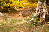 Wolf (Canis lupus) in a forest in autumn, Bayerisher wald, Bavaria, Germany
